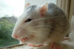 Rat Tumor Study Sparks Media Reports On The Evil Of Monsanto