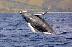 Humpback whales changing their tunes, study finds