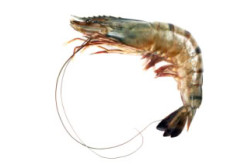 Eat 62 lbs of Gulf Shrimp Everyday For 5 Years, 'It's Good'