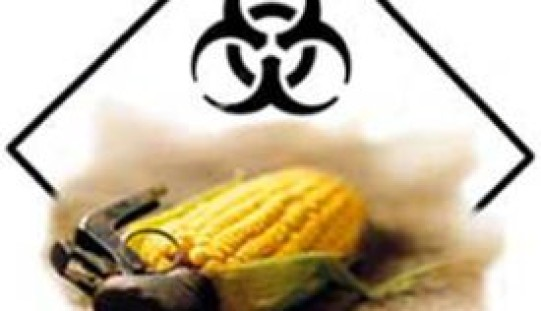 Bloomberg: Genetically Modified Corn Polluting Streams, Rivers and Lakes With Insecticides