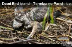 """Cousteau, other experts """"Stunned"""" by island """"littered"""" with """"many dead birds"""", Say birds poisoned by BP disaster"""