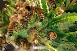 Man Trains Bees to Create Naturally Infused Honey From Cannabis Resin