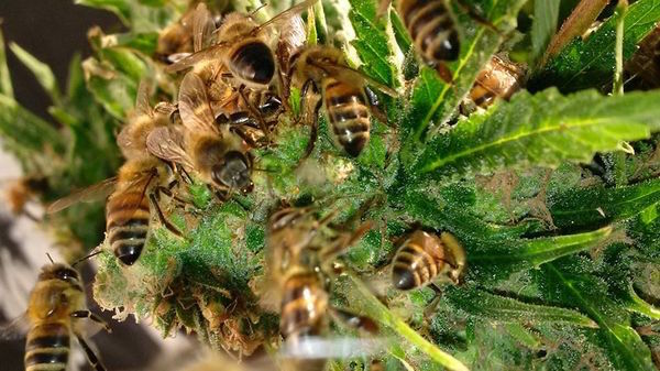 Bees turning cannabis pollen into naturually infused honey. The bee's don't feel the effect from cannabis because they don't have an endocannabinoid system.