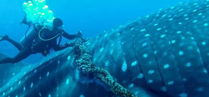 [Watch] Bold Diver Rescues Whale Shark Caught In Commercial Fishing Rope