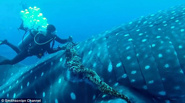 Video Diver Rescues Whale Shark Caught In Commercial Fishing Rope